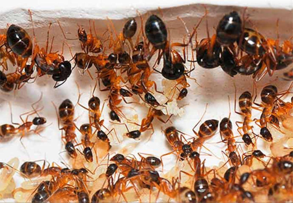 Как избавиться от муравьев в огороде, дома или теплице |  обработка средствами на садовом участке