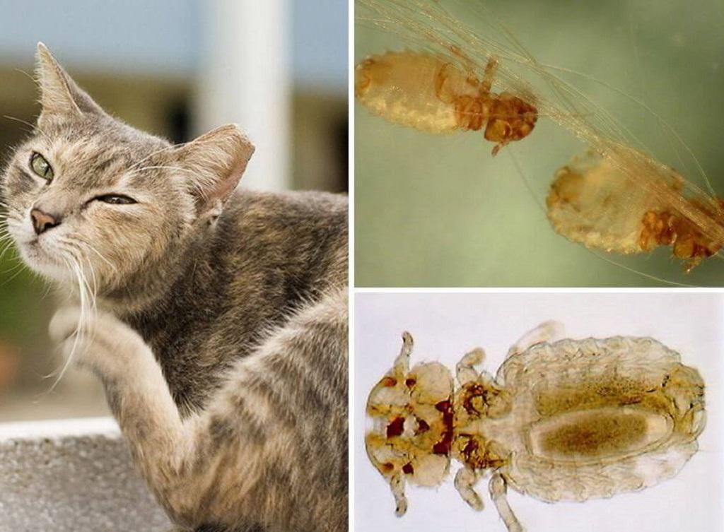 Власоеды у кошек: опасны ли для детей, как лечить