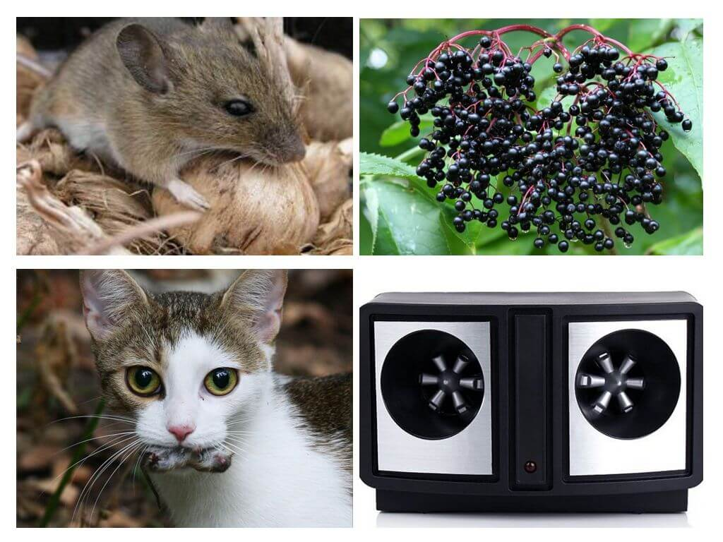 Борьба с мышами в домашних условиях: народные методы и электронные средства русский фермер