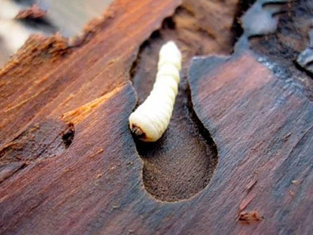 Жук древоточец: образ жизни и среда обитания