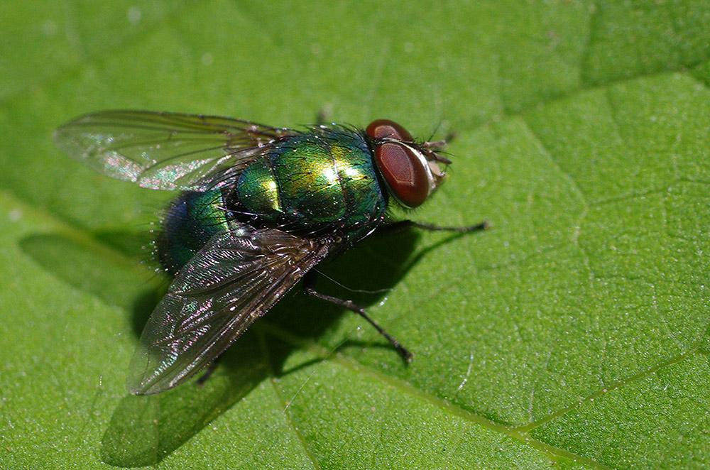 Любитель трупов — серая мясная муха