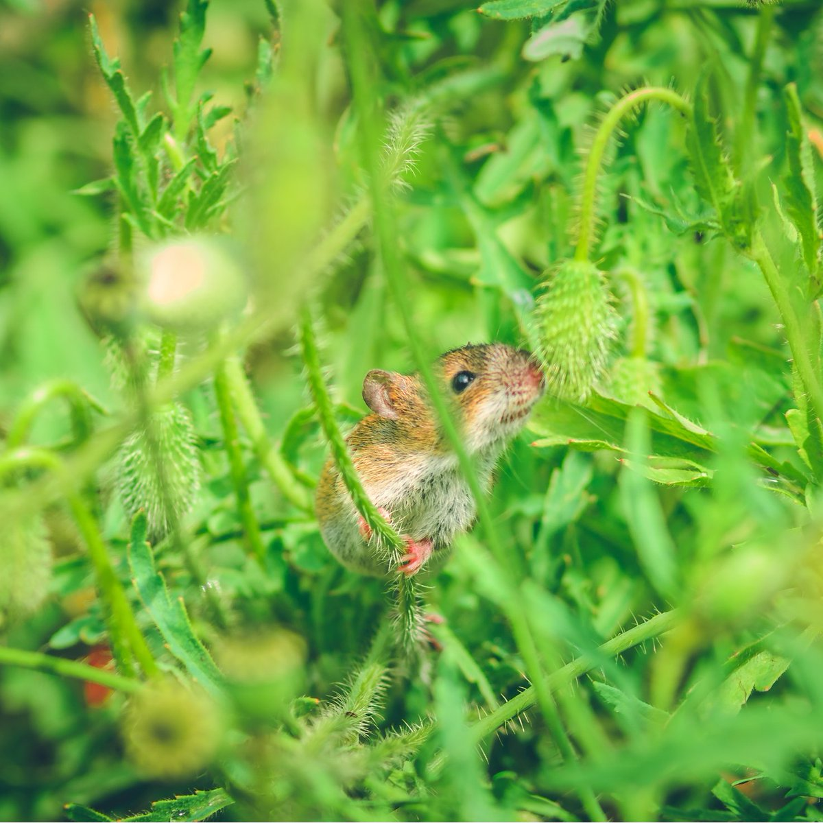Какую траву боятся мыши и крысы?