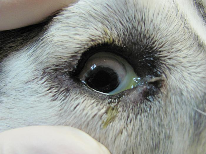 Симптомы эрлихиоза у собак и методы его лечения