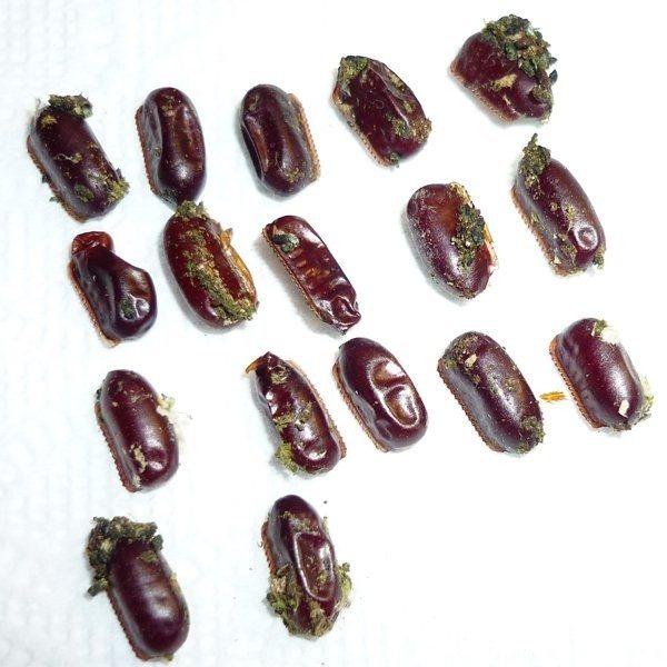 Сколько тараканов вылупляется из одного яйца — nasekomie