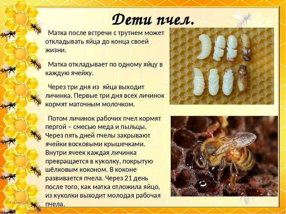 Сколько живет пчела:основные сроки жизни,рабочая особь, матка, трутень