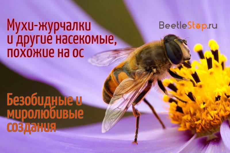 Название небольшой необычайно-стройной полосатой мухи похожей на осу: ответы ученых