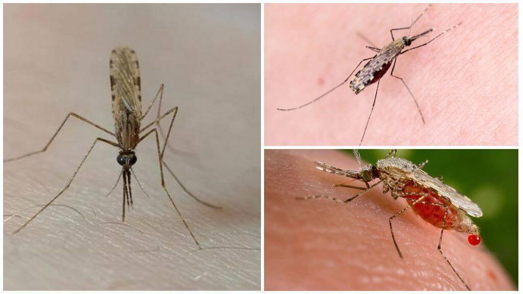 Как избежать укусов малярийного комара, первые признаки малярии и последствия