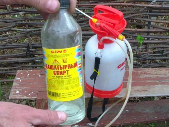 Нашатырный спирт от тли на смородине: как разводить и опрыскивать