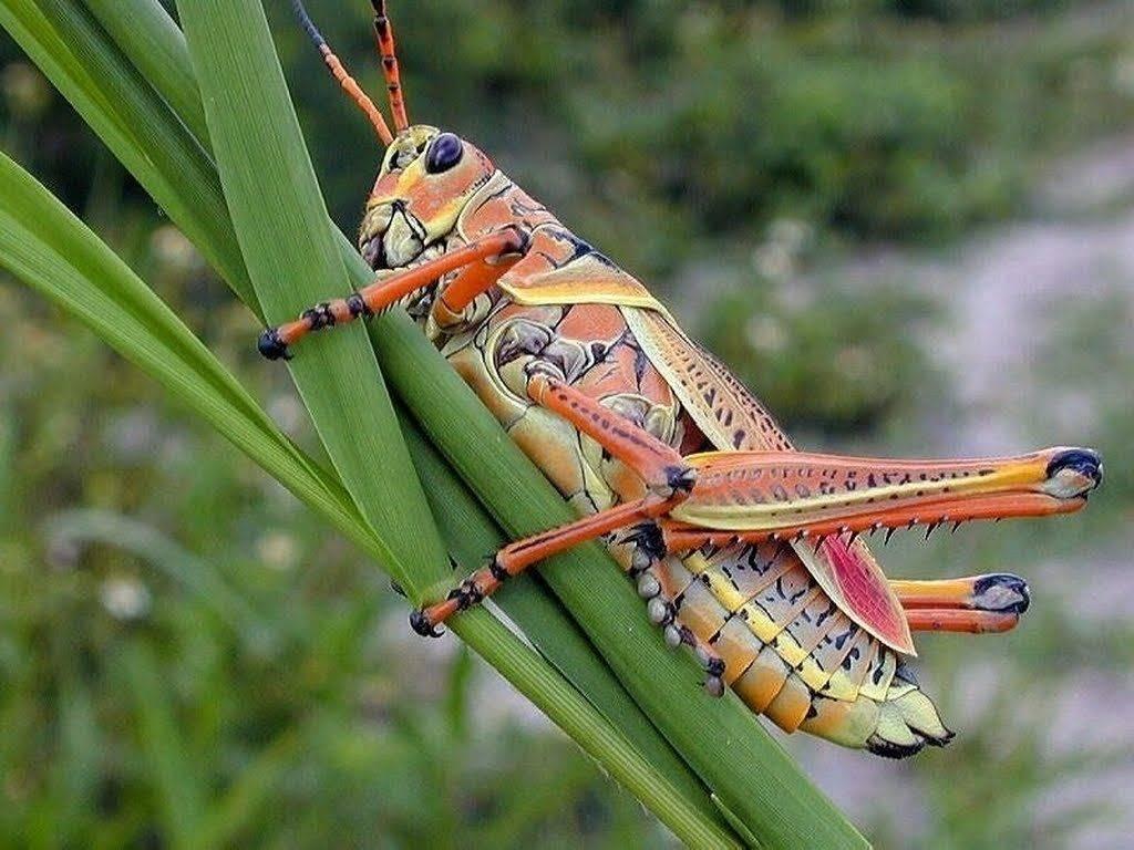 Что делают сверчки звук глагол. мелодичный звук сверчка, или музыкальные способности насекомого. зачем он это делает