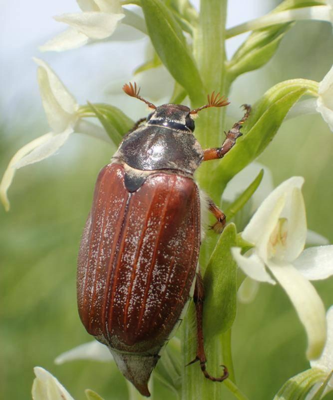 Майский жук (майский хрущ)