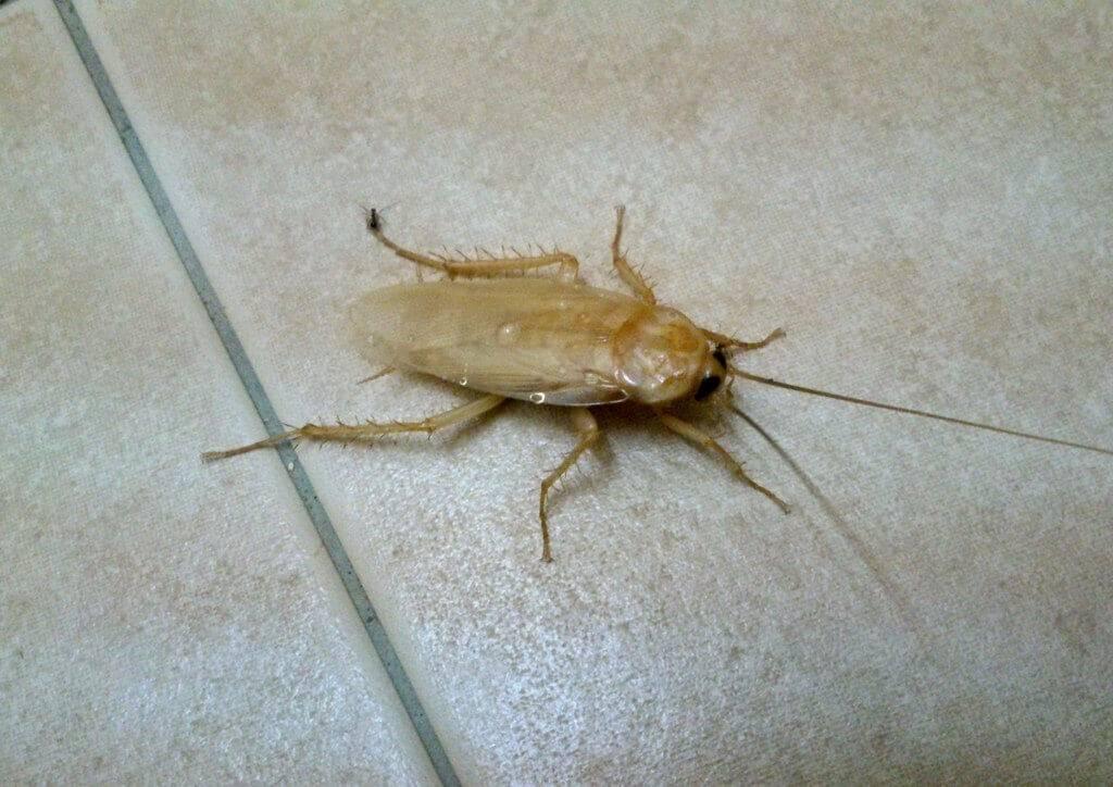 Белые тараканы в квартире - что это, прозрачные, маленькие, фото, в ванной и туалете, чем опасны белые тараканы,