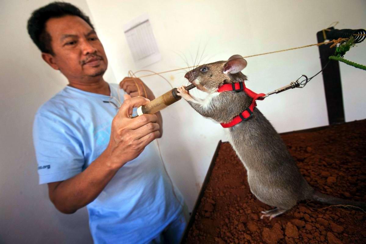 Размер и вес маленькой и взрослой крысы