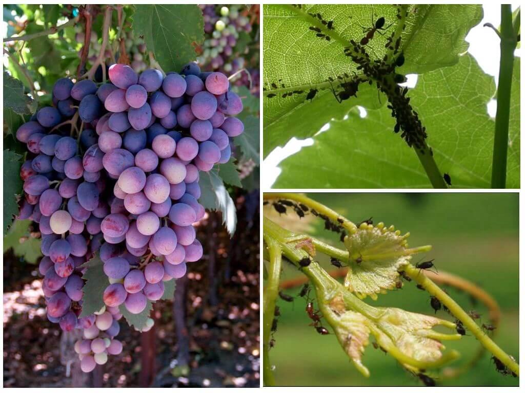 Обработка винограда от болезней и вредителей, когда и чем обрабатывать