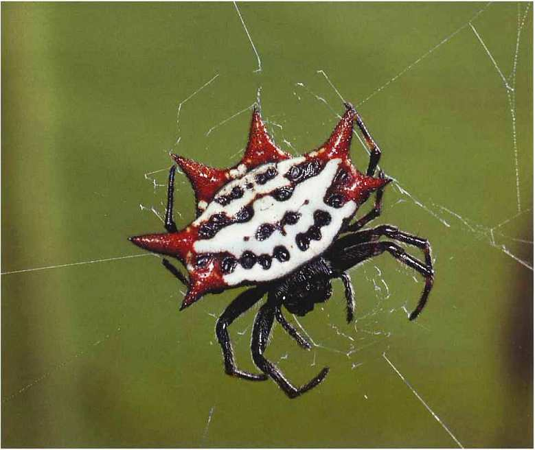 Воронковый паук: описание, особенности строения, ядовитый или нет