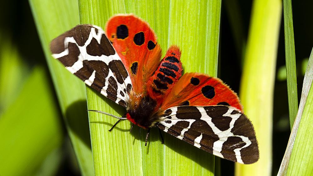 Бабочка медведица: особенности, распространение, фото