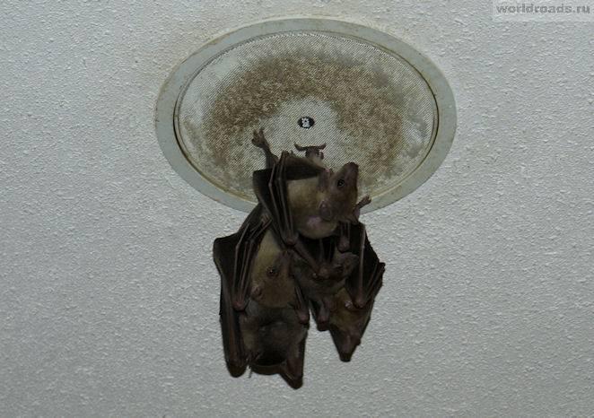 Как избавиться от мышей в натяжном потолке - сорнякам нет