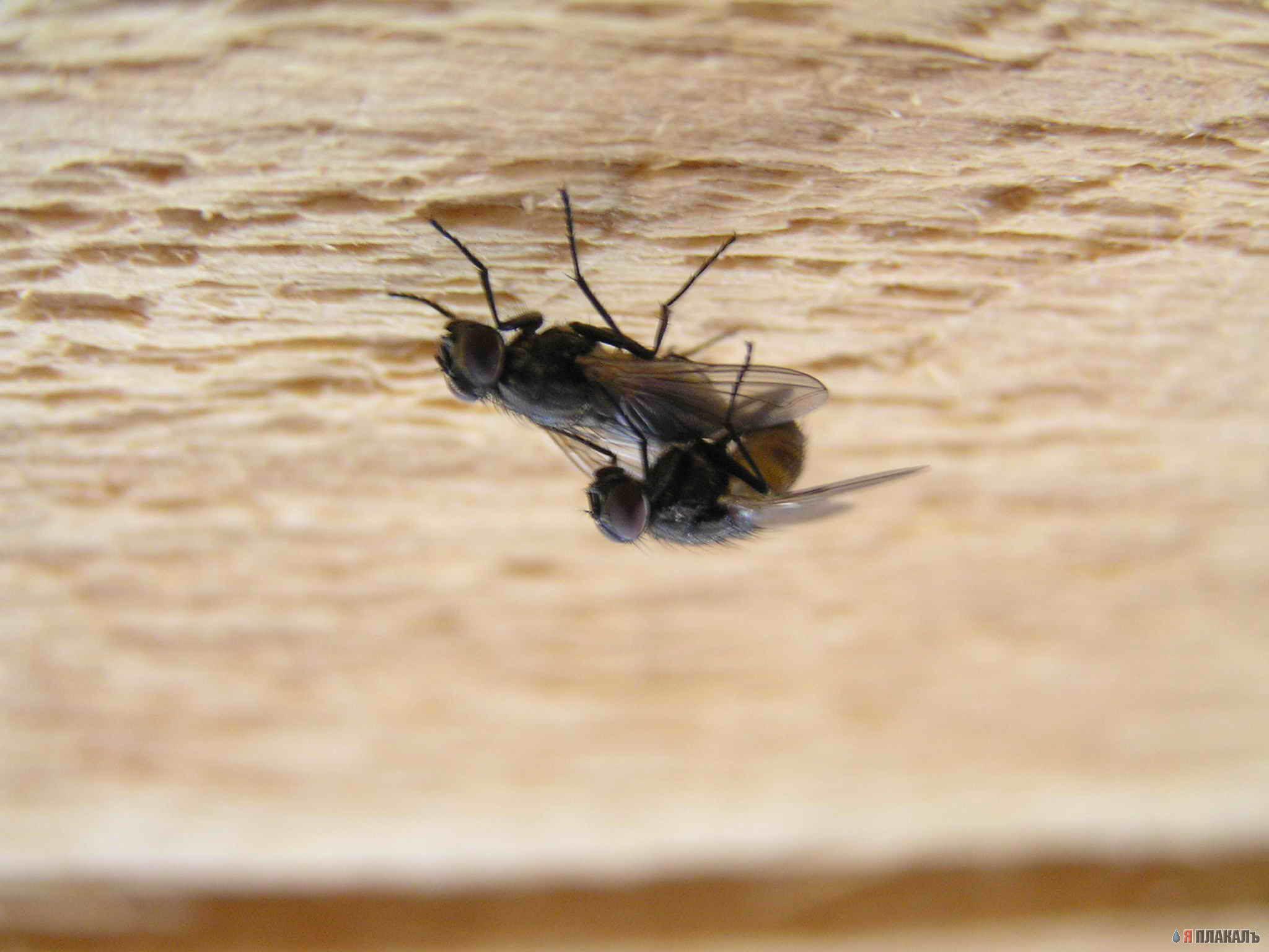 Почему муха ходит по потолку проект. исследовательская работа на тему » почему муха не падает с потолка». ученые разобрались, почему муха не падает с потолка