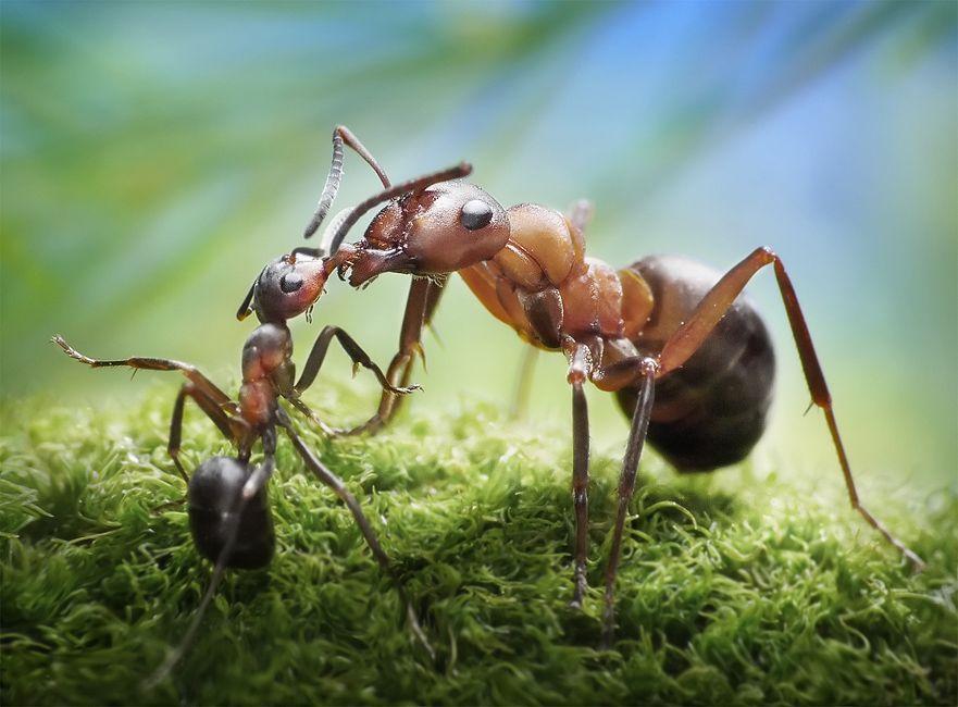 Откуда появляются садовые муравьи и как с ними бороться
