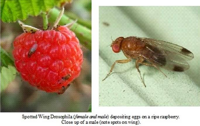 Малинная стеблевая муха: чем опасен этот вредитель и как с ним бороться - отделка