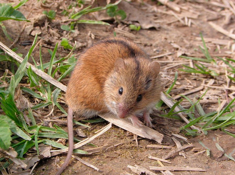 Как избавиться от мышей полевок на участке: народные методы и отпугиватели