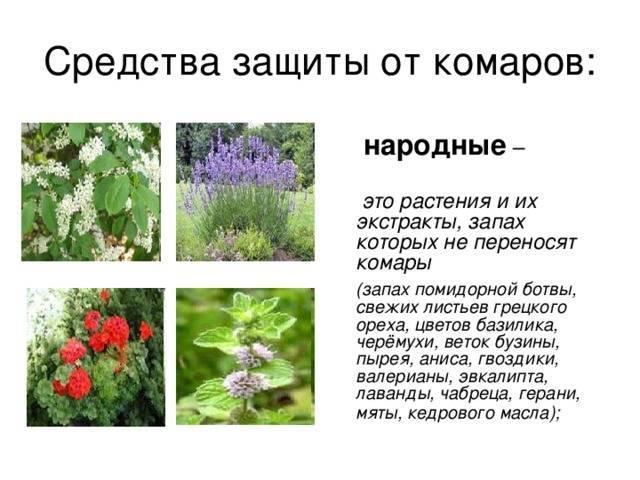12 растений, которые отпугивают надоедливых комаров