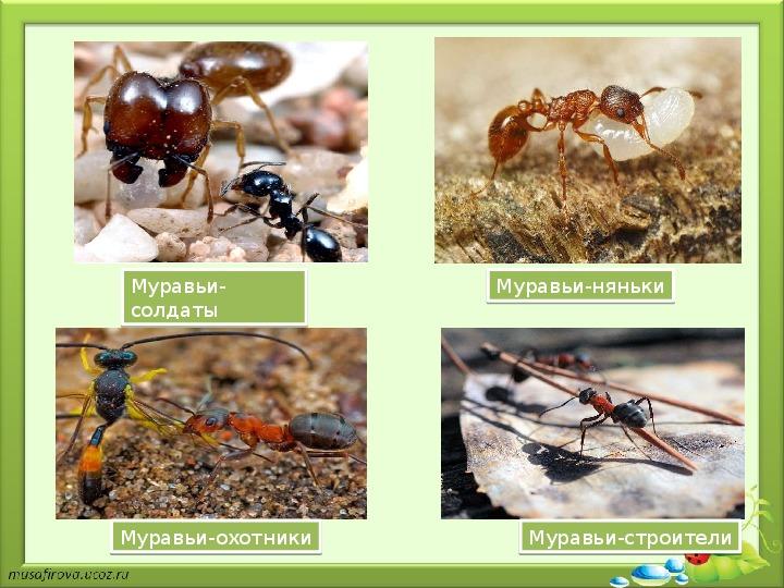 Огненные красные муравьи – фото и описание