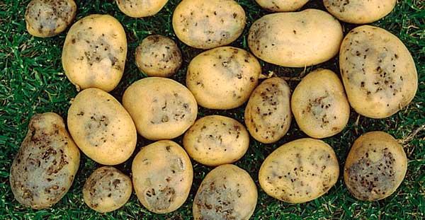 Чем бороться от картофельной моли