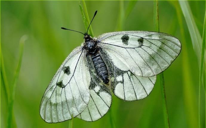 Бабочка мнемозина - описание, среда обитания, виды