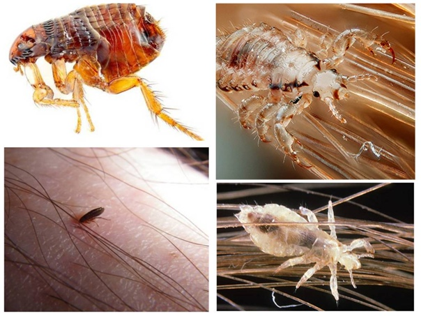 Блохи и вши, фото и характеристика паразитов - медицина - здорово!