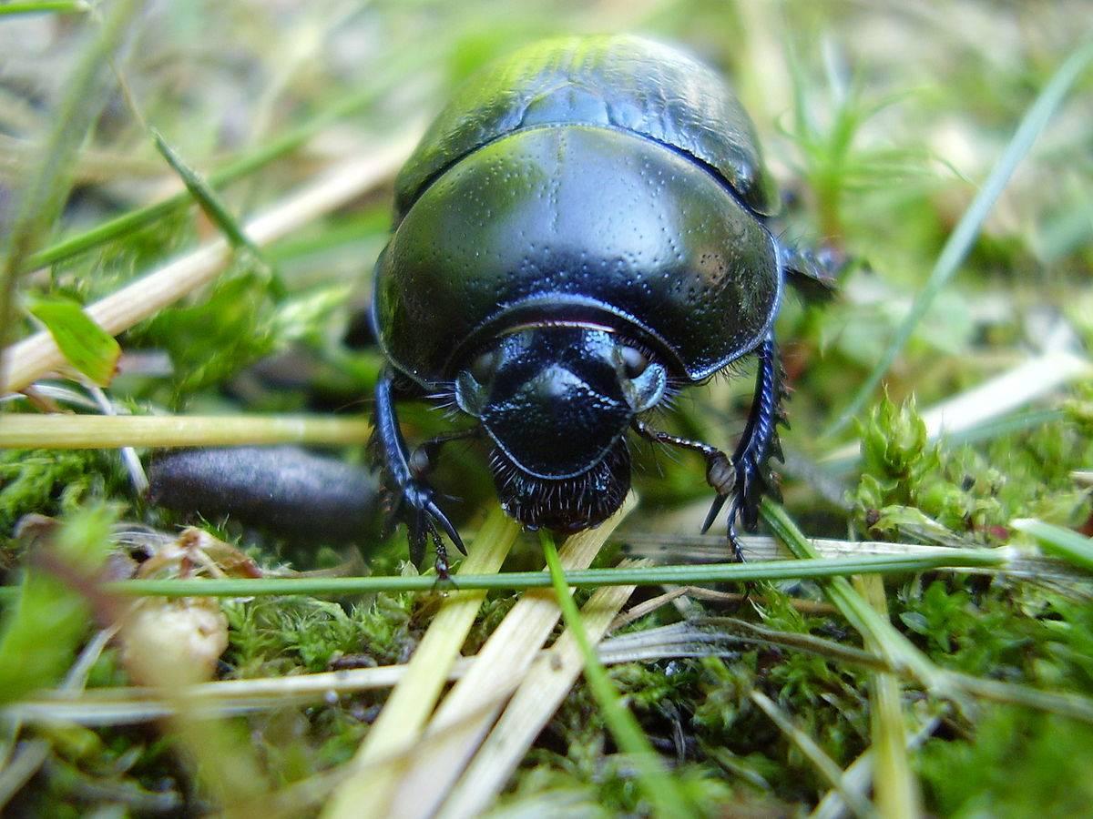 Жук-носорог — интересные факты о насекомом | vivareit