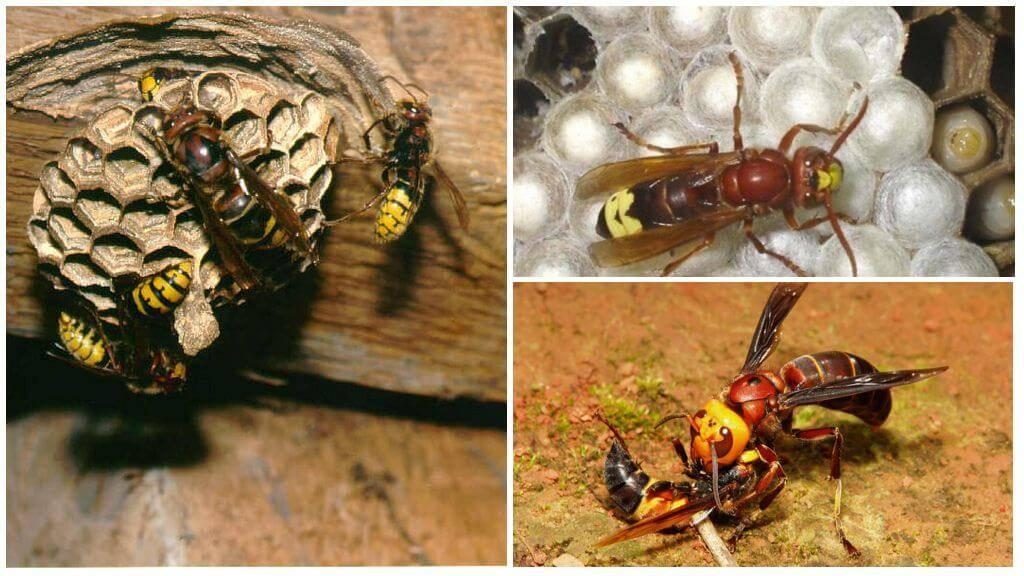 Шершень обыкновенный (европейский) и его отличие от ос: гнёзда насекомых, польза и вред с точки зрения зоолога
