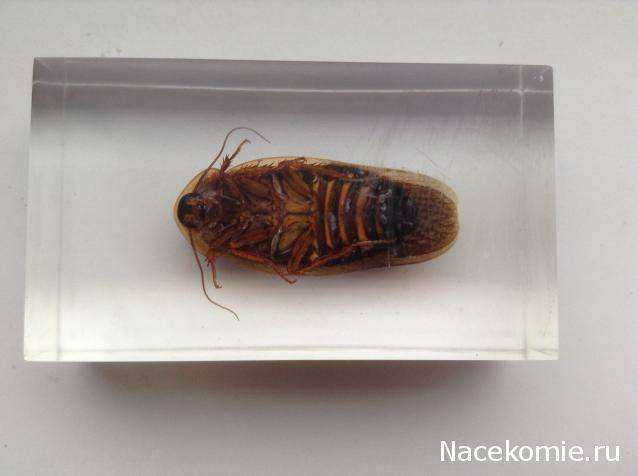 Аргентинский таракан
