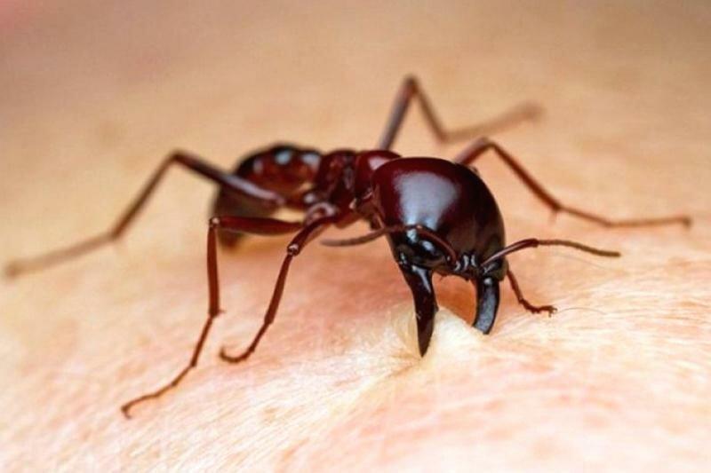 Шкала боли шмидта: почтовые пчелы, огненный муравей и муравей пуля