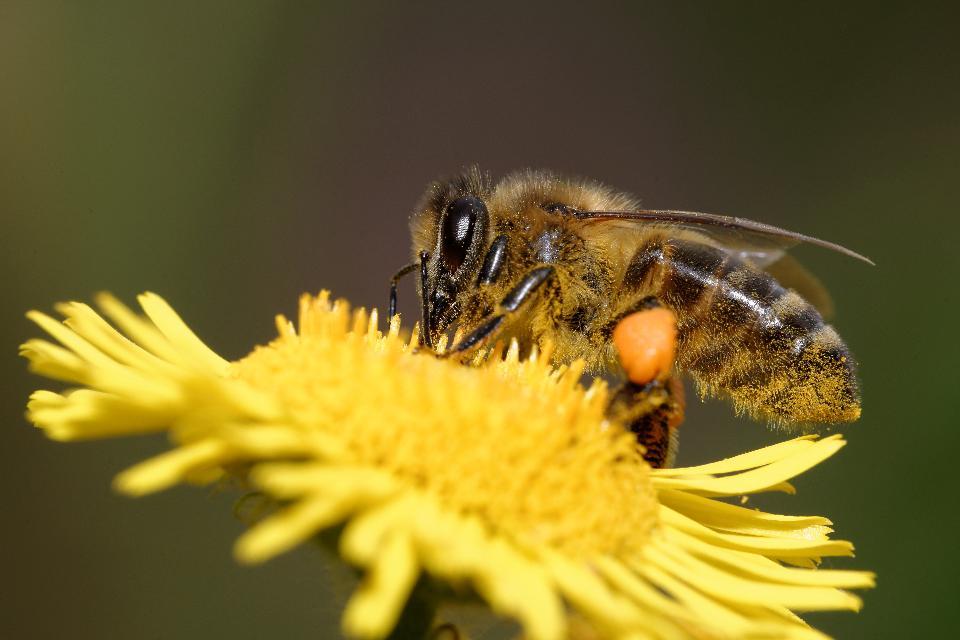 Почему умирают пчёлы? сообщения о гибели насекомых приходят из разных стран. последствия исчезновения пчел на земле