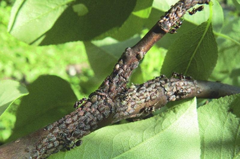 Как бороться с гусеницами на сосне и других хвойных деревьях