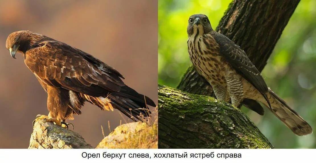 ᐈ сокол - хищная птица: [фото и описание] размер, гнездо и птенцы, где живет
