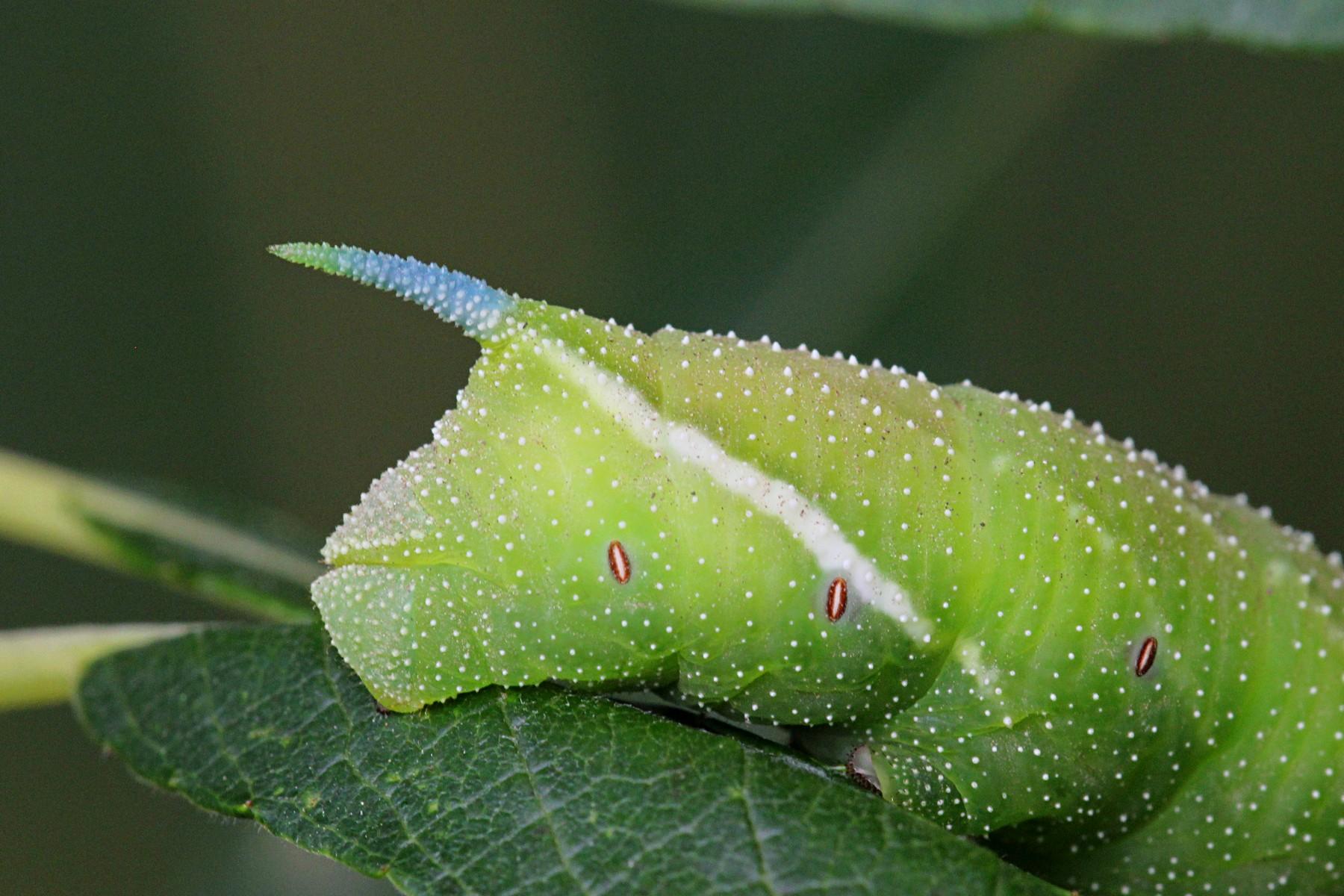 Описание гусениц, их питание и строение. гусеница с рогом на хвосте: фото, как называется кто вырастает из гусеницы