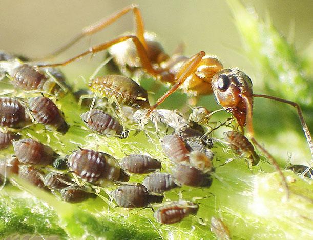 Как взаимодействуют между собой муравьи и тля