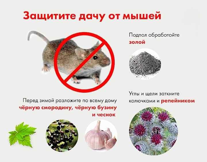 Крысы в частном доме: как избавиться, народные средства, ловушки