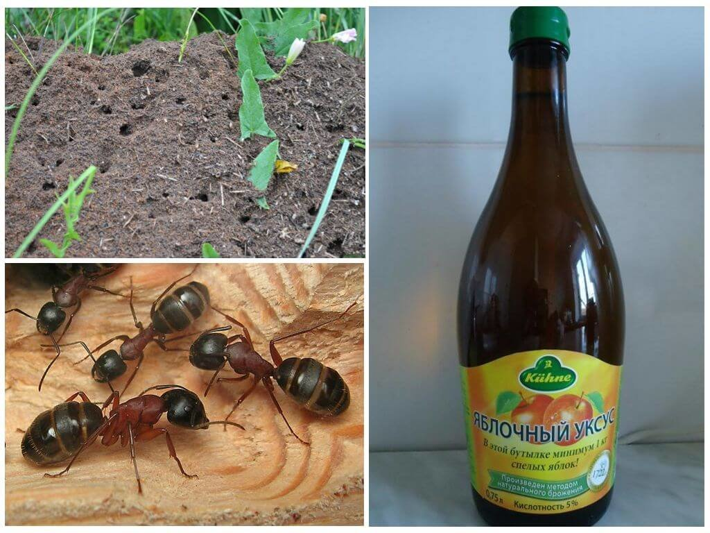 Как избавиться от домашних муравьев: промышленные и народные методы