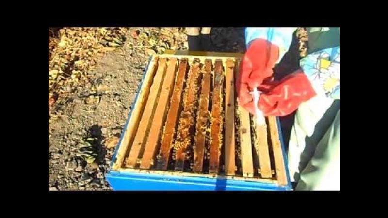 Как обрабатывать пчел от клеща бипином