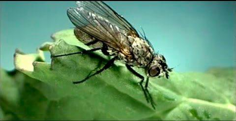 Капустная муха и методы борьбы с ней