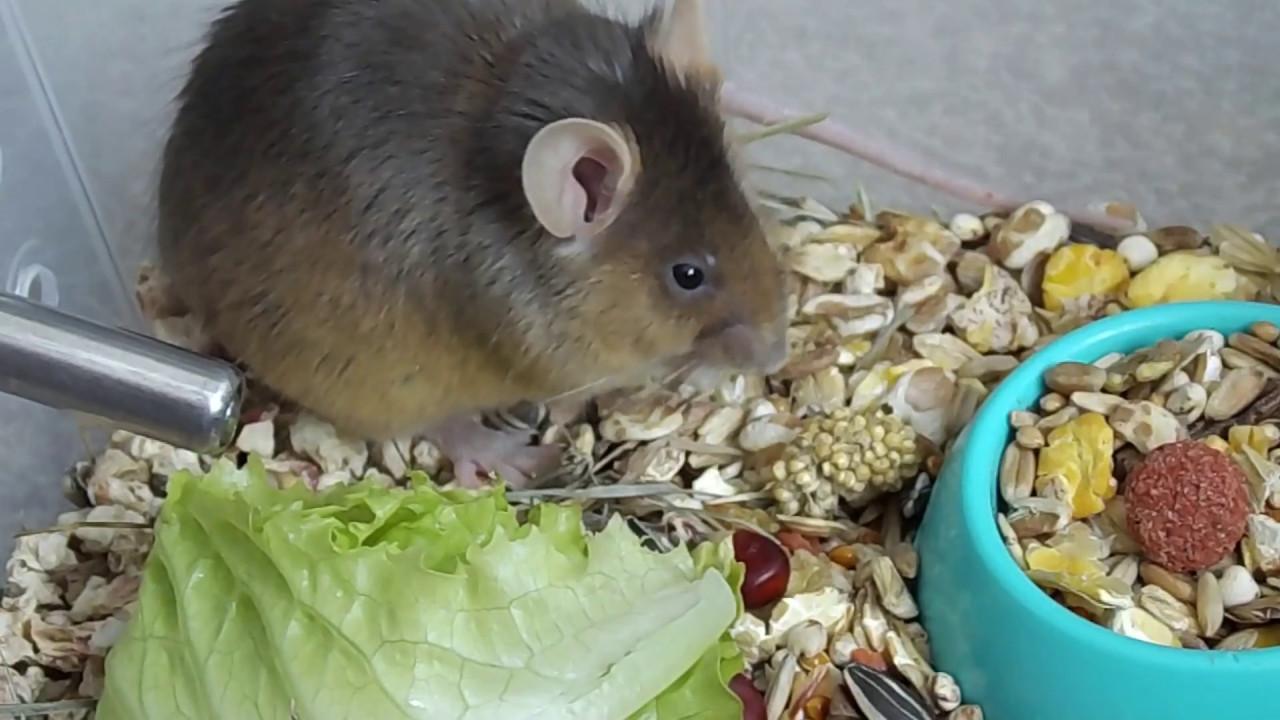 Что едят мыши - в домашних условиях и в дикой природе