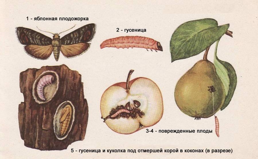 Когда опрыскивать яблони от плодожорки?