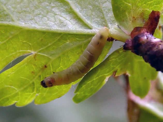 Как избавиться от листовертки на яблоне быстро и навсегда