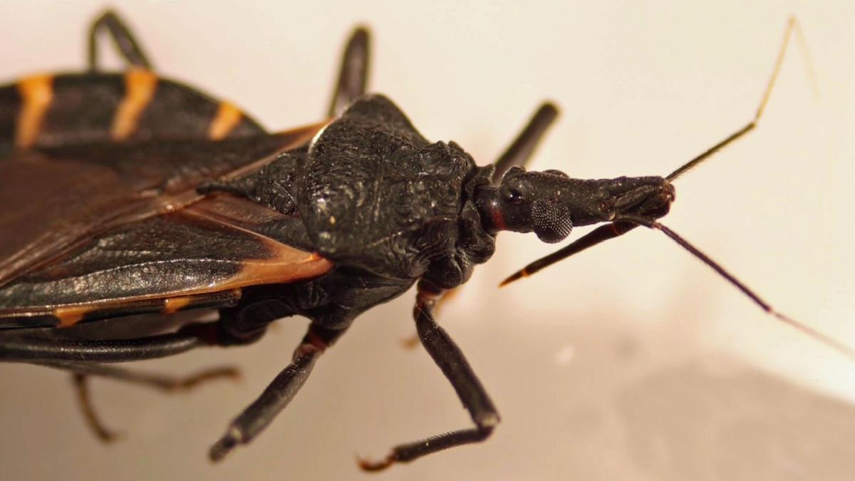 Где обитают триатомовые клопы и чем грозит укус паразита?