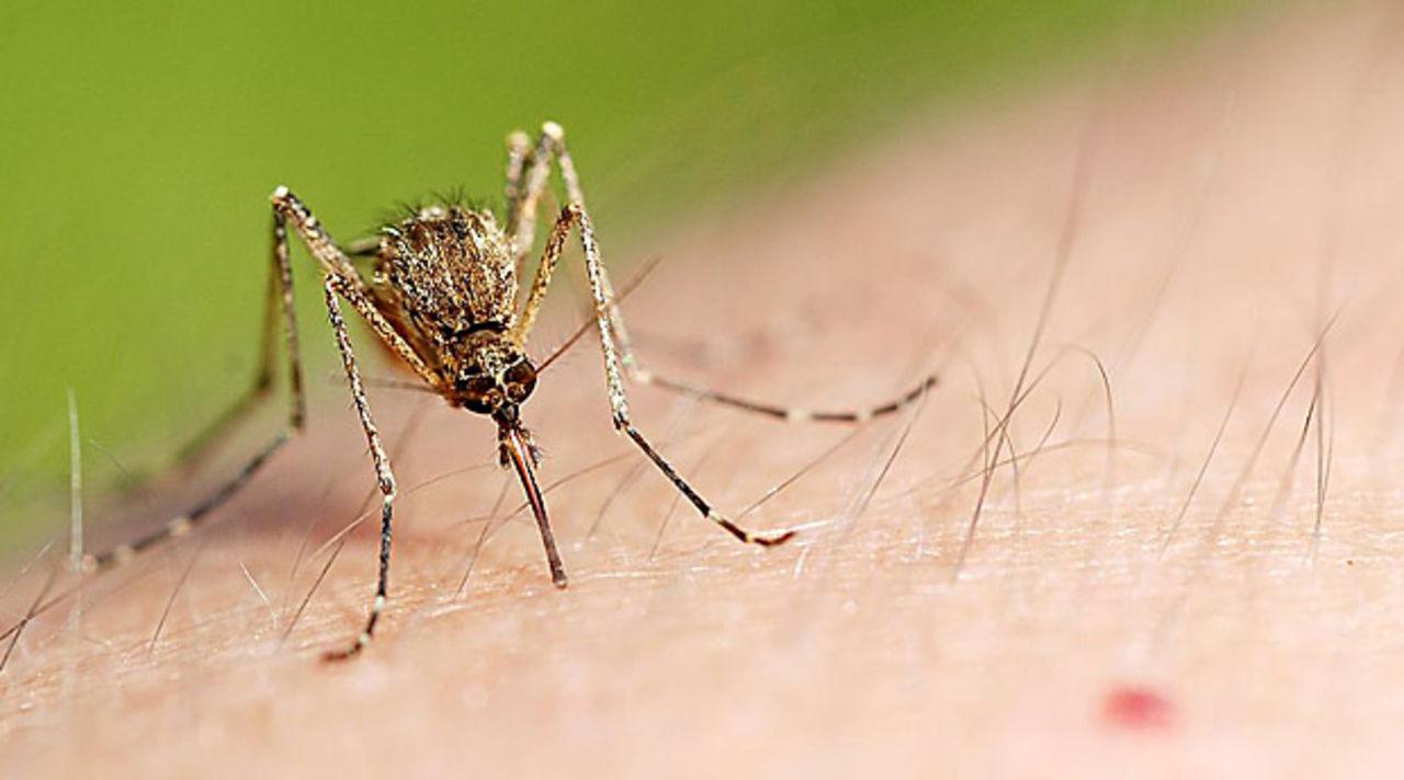 В ялте нашли смертельно опасных комаров