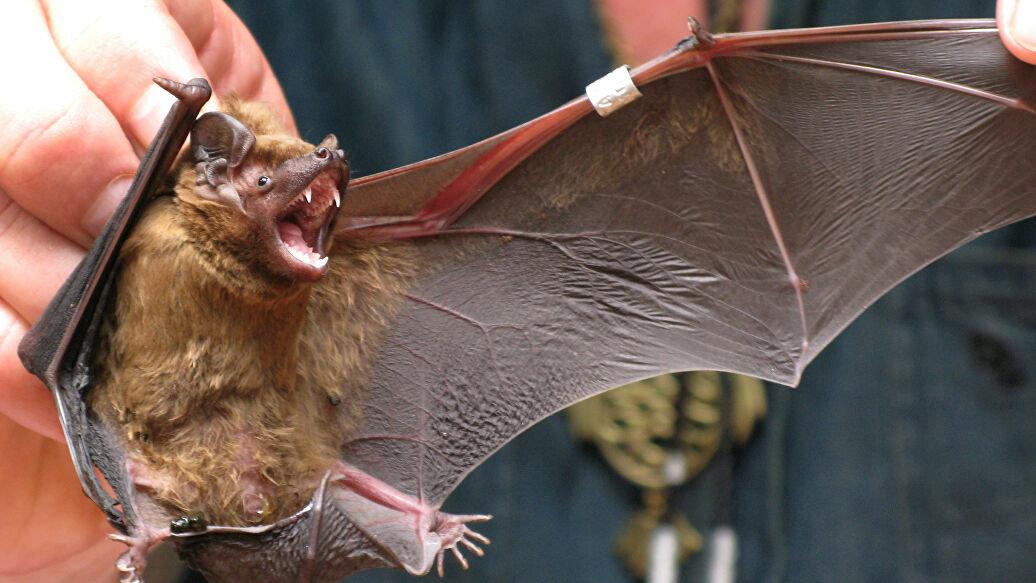 Чем опасна летучая мышь для человека. чем опасен укус, первая помощь