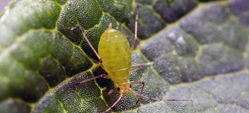 Бахчевая тля – как бороться с паразитом?