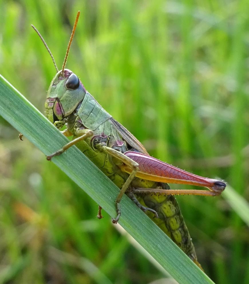 Мелодичный звук сверчка, или музыкальные способности насекомого. почему стрекочут кузнечики и как они это делают зачем он это делает